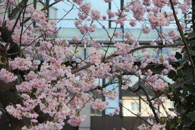 Zierkirsche vor dem Kreishaus steht in voller Blüte